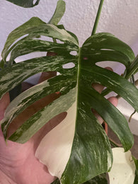 Heavily Variegated Monstera deliciosa 'Variegata' albo 2 leaf cutting with aerial root - Rare Houseplant - Variegated monstera - Parijat Plant