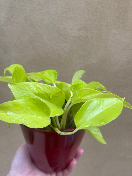 Neon pothos -Devil's ivy plant for sale - Air purifier - houseplant - 12cm potted plant in a red ceramic pot - Parijat Plant