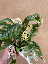 Variegated Monstera Adansonii plant 1 leaf cutting small aerial root -This cutting selected randomly from the plant shown in the picture - Parijat Plant