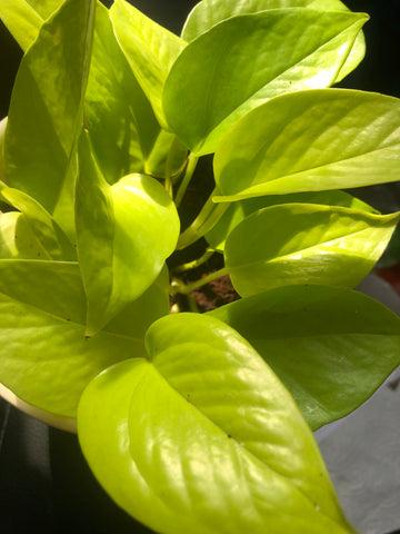 Buy 2 get 1 free Neon pothos -Devil's ivy plant for sale - Air purifier - houseplant - 10cm potted plant - Parijat Plant
