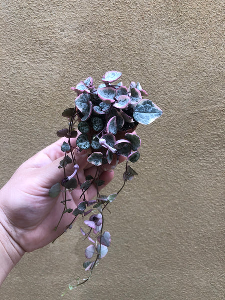 Buy ! Rare pink Variegated String of Heart Plant in a tiny 4cm pot - string of heart plant - Parijat Plant