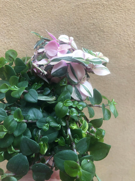 2 minima mix - green and pink - tradescantia fluminensis plant - Parijat Plant