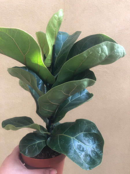 Fiddle Leaf Fig - Ficus Lyrata - Fiddle Leaf Fig plant in 10cm pot - live plant - Parijat Plant