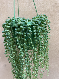 Buy 2 get 1 Free ! 2 String of pearl unrooted cutting - Cutting - Trailing Plant - Parijat Plant
