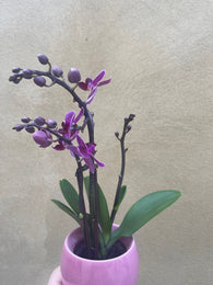 mini orchid in a 8cm ceramic pot - Cute orchids plant -phalaenopsis orchids plant - Parijat Plant