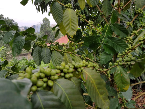 Coffee, JAVA AB (Natural), NKGMA, Cameroon
