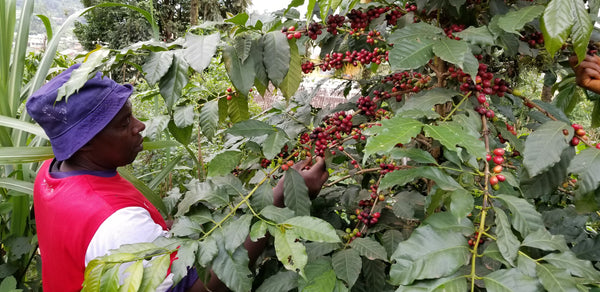 Coffee, JAVA xDH (Natural), MENTANG, Cameroon