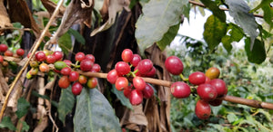 Coffee, JAVA xAB (Natural), MENTANG, Cameroon
