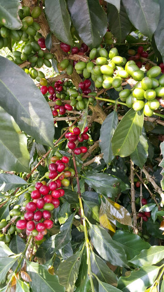 Coffee, Djember, Typica, Ateng (Semi-washed, Wet Hulled), Indonesia
