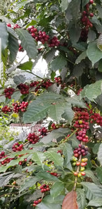 Coffee, JAVA CH (Natural), MBESSA, Cameroon