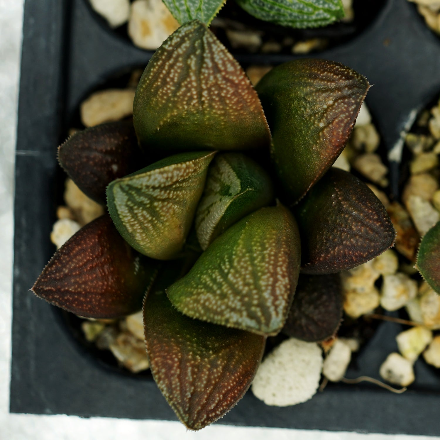 Haworthia hybrid series PP261, 6 siblings