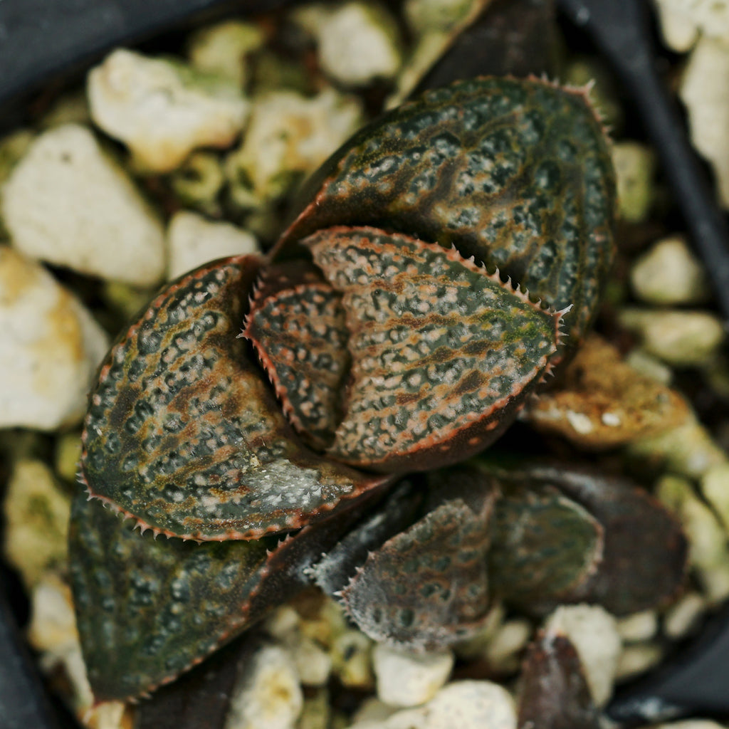 "Haworthia splendens hybrid ""American Beauty""  TC plantlet"