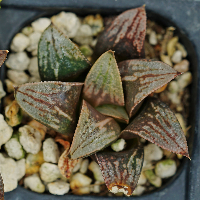 Haworthia hybrid series PP263, 2 siblings