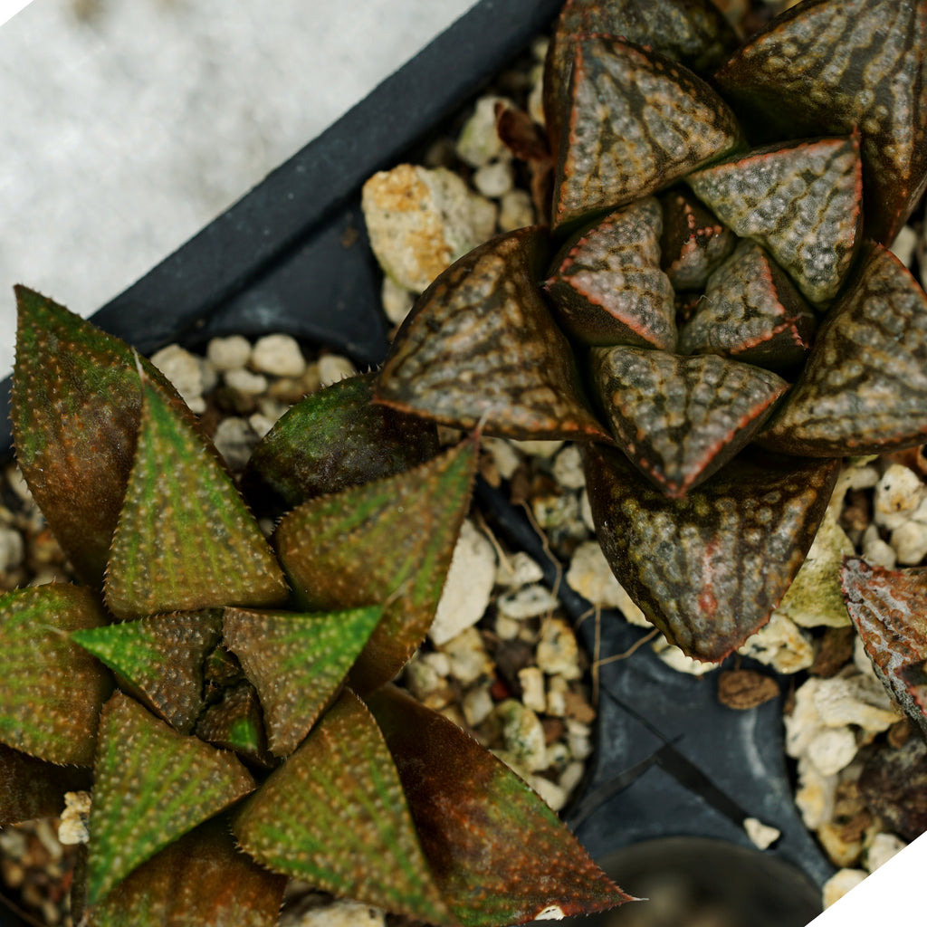 Haworthia hybrid series PP186, 2 siblings