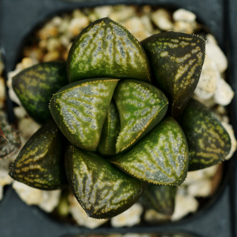 Haworthia hybrid series PP186, 3 siblings