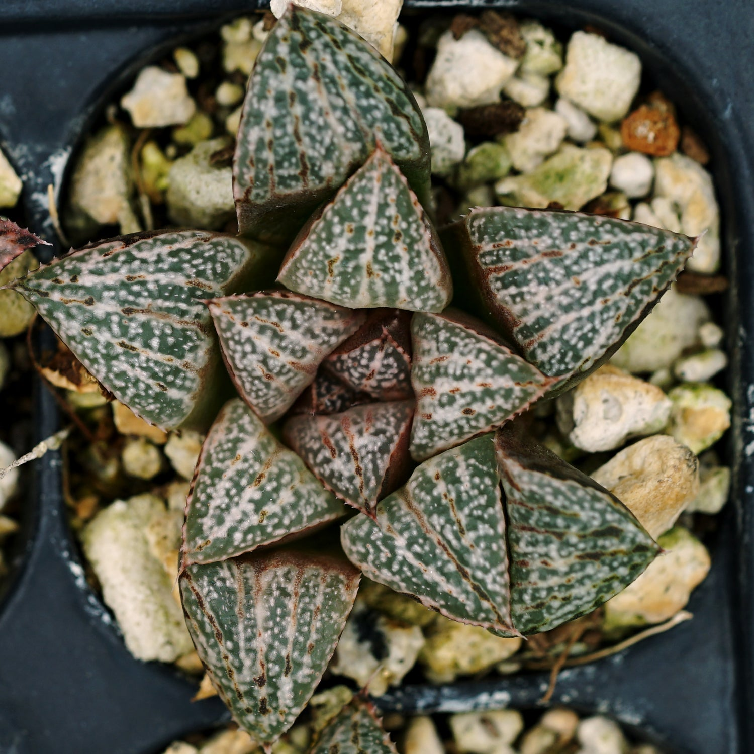 Haworthia splendens hybrid series PP202, 4 siblings