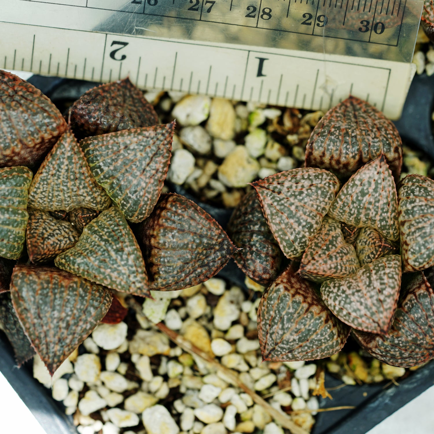 Haworthia picta x Scarlet Begonias hybrid series PP236, 2 siblings