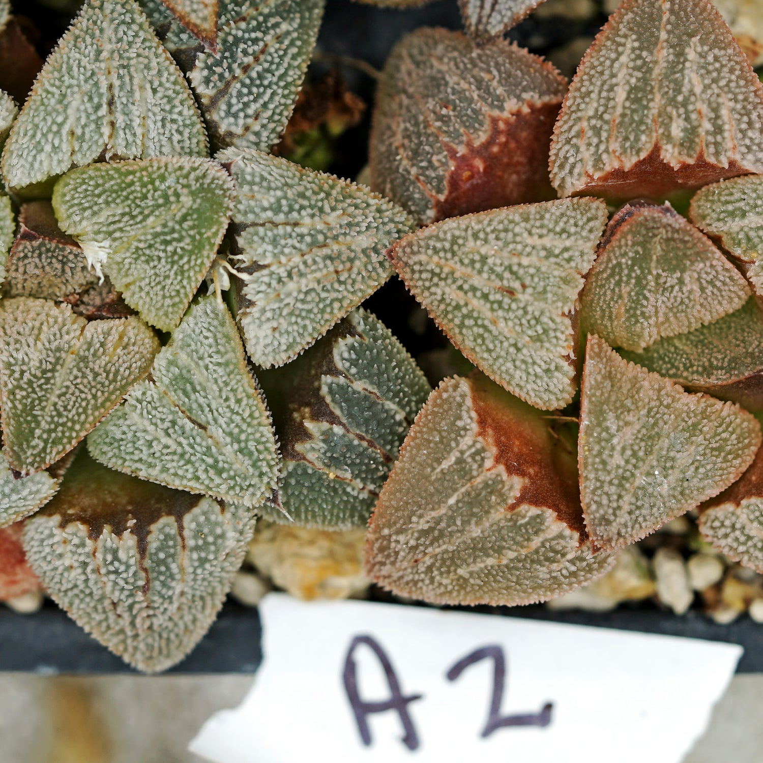 Haworthia hybrid series PP273, 2 siblings (a2)
