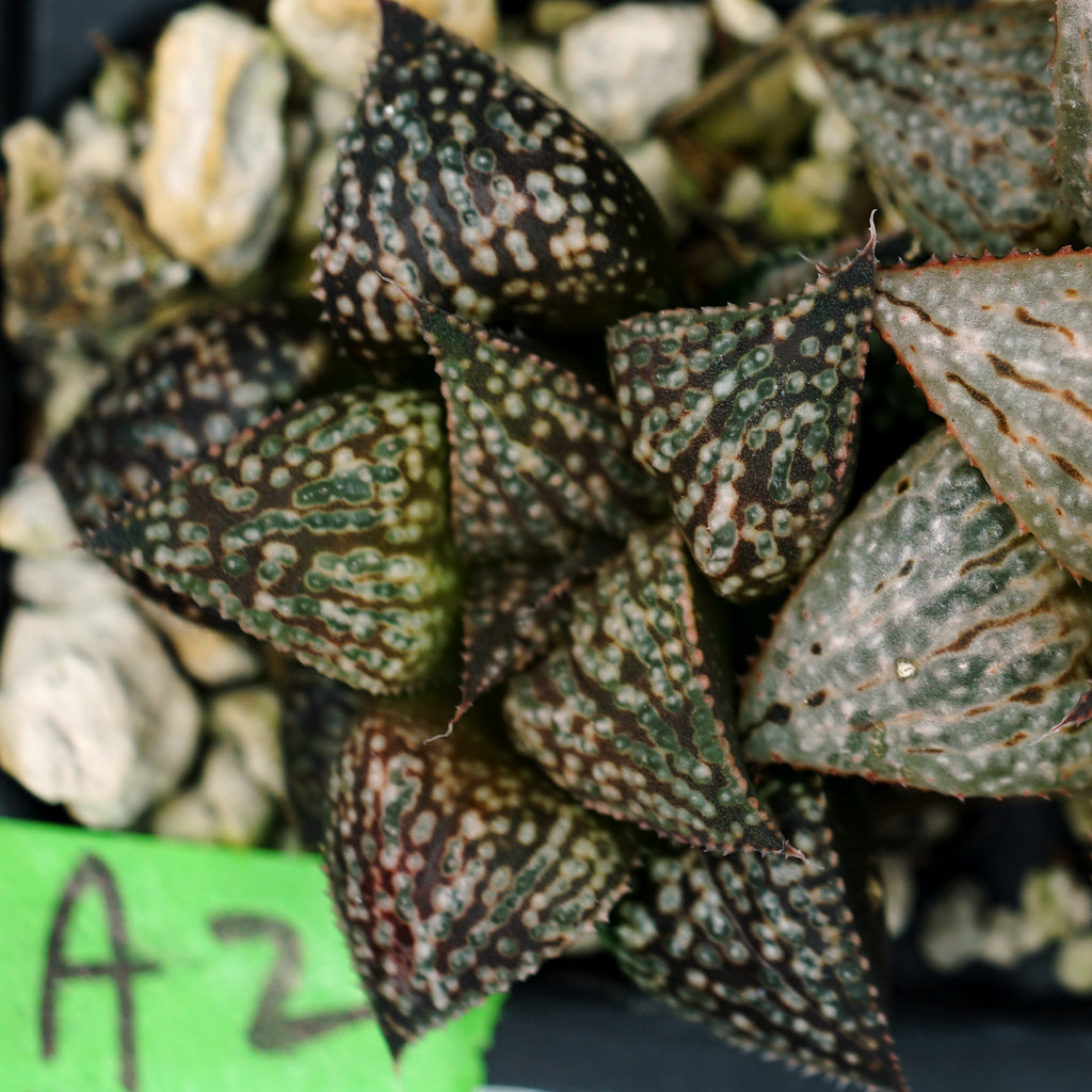 Haworthia Scarlet Begonias x Parthenon hybrid series PP204, 4 siblings