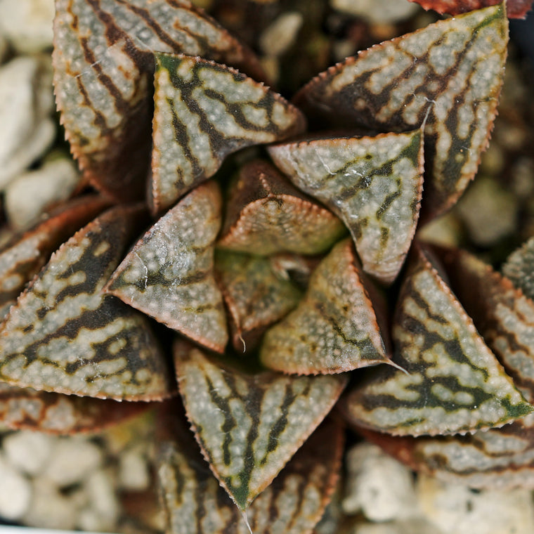 Haworthia hybrid series PP273, 2 siblings (a3)