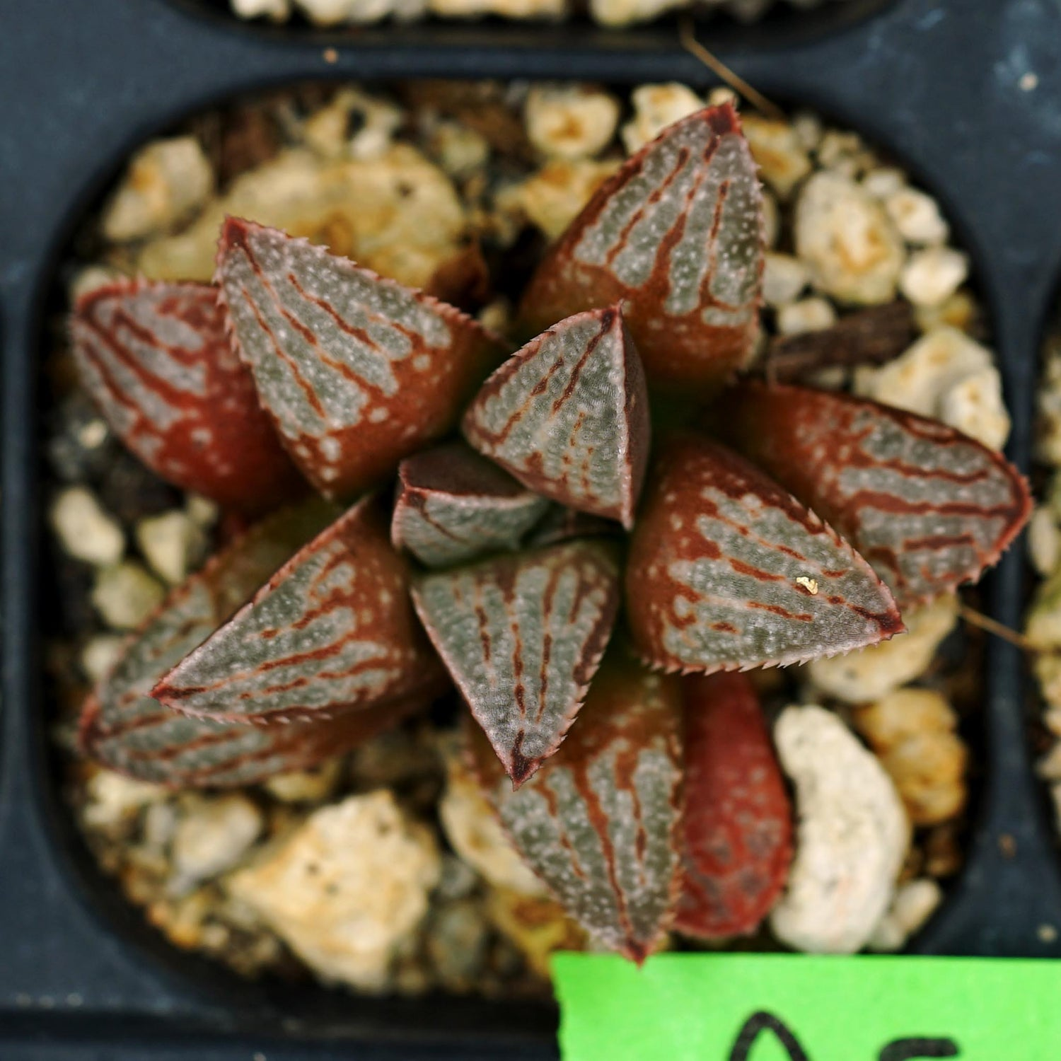 Haworthia hybrid series PP158, 4 siblings