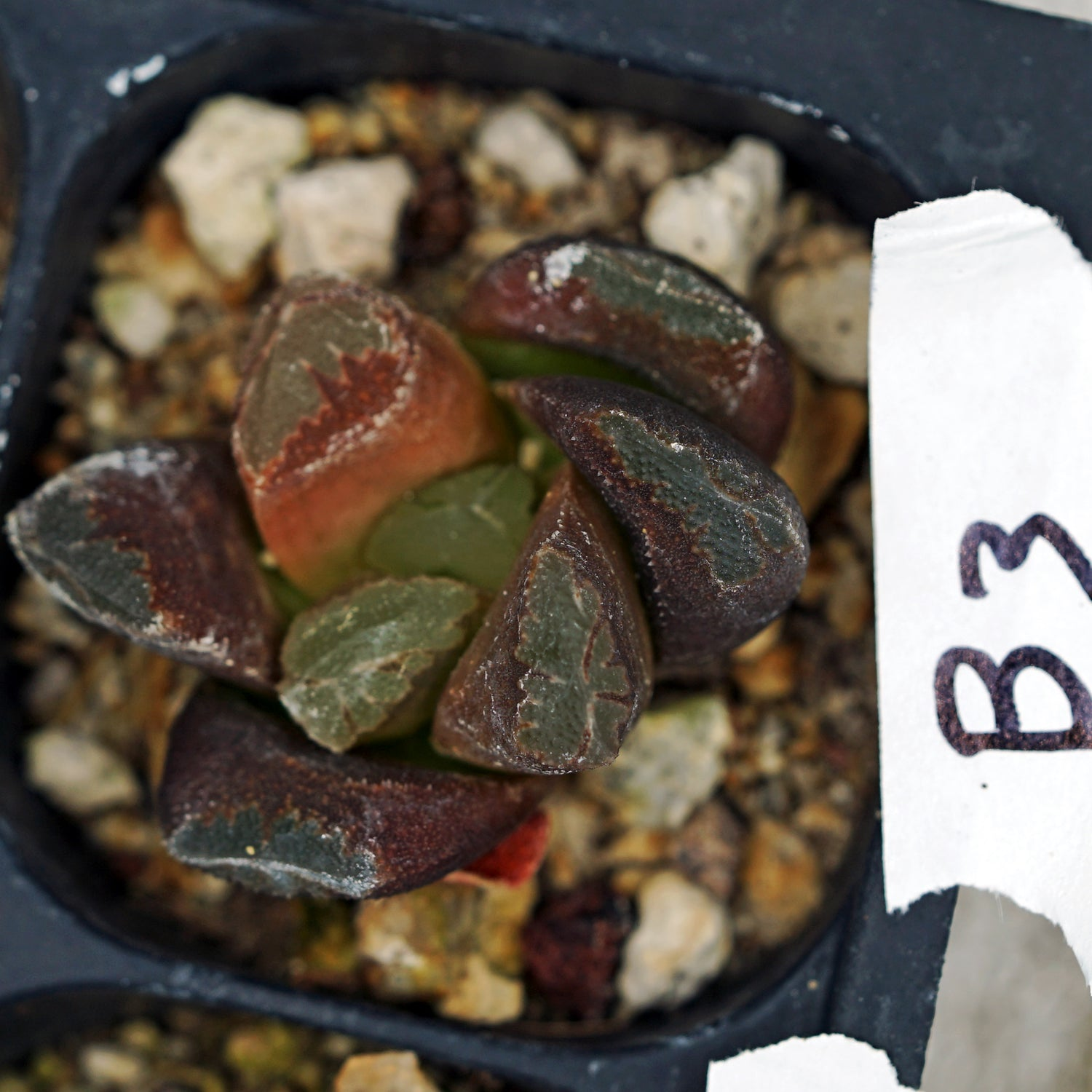 Haworthia hybrid series PP295, 2 siblings (b3)