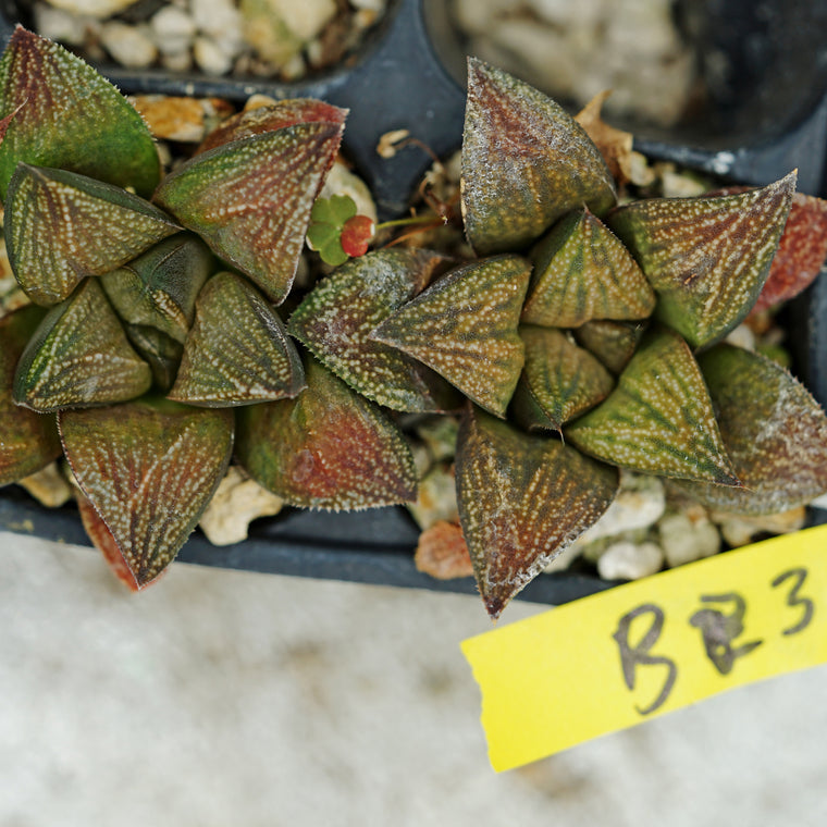 Haworthia hybrid series PP244, 2 siblings