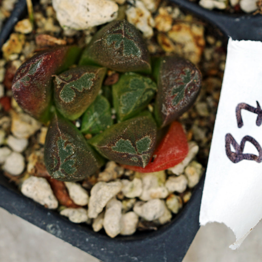 Haworthia hybrid series PP295, 2 siblings (b7)