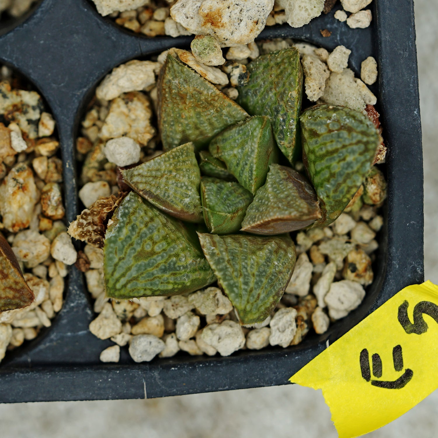 Haworthia hybrid series PP230, 2 siblings