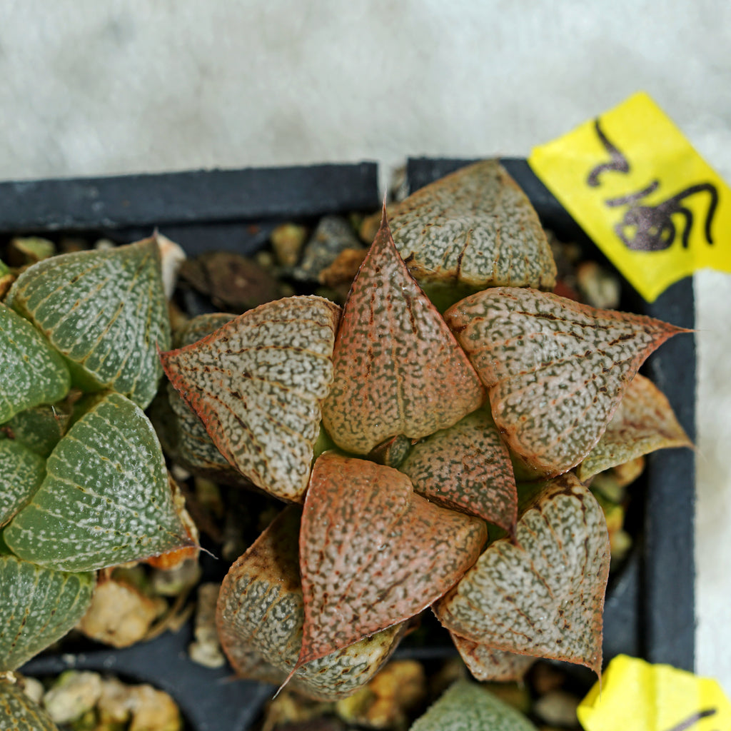 Haworthia  PP271  picta hybrid series, 2 sibling plants (g12)