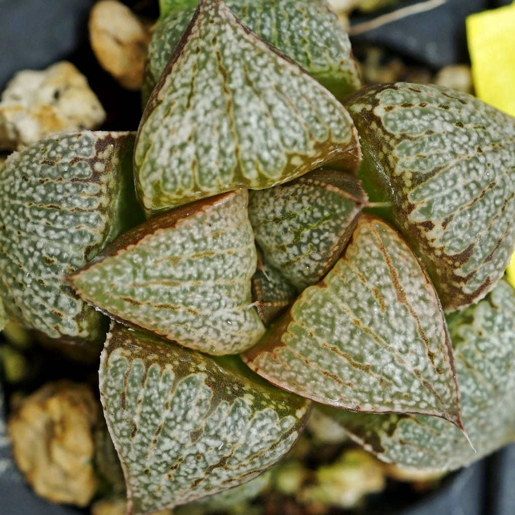 Haworthia  PP271  picta hybrid series, 2 sibling plants (g14)