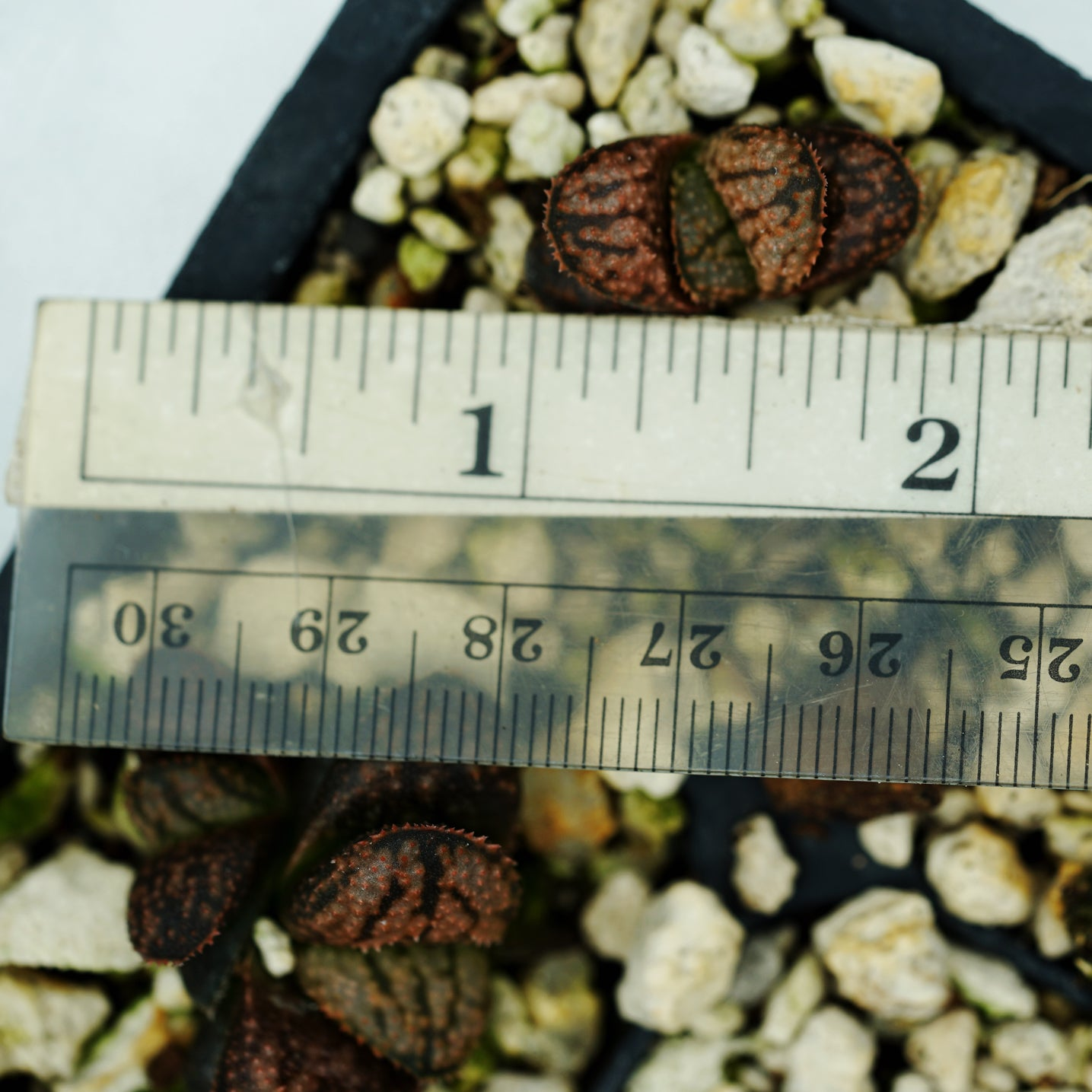 "Haworthia ""Cersei""  PP33 hybrid series TC plantlet possible 4N"