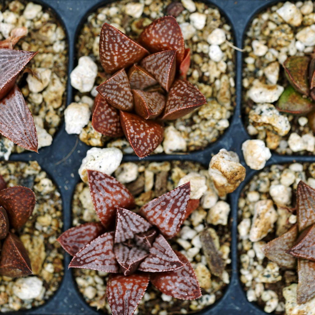 Haworthia hybrid series  PP166, 6 siblings