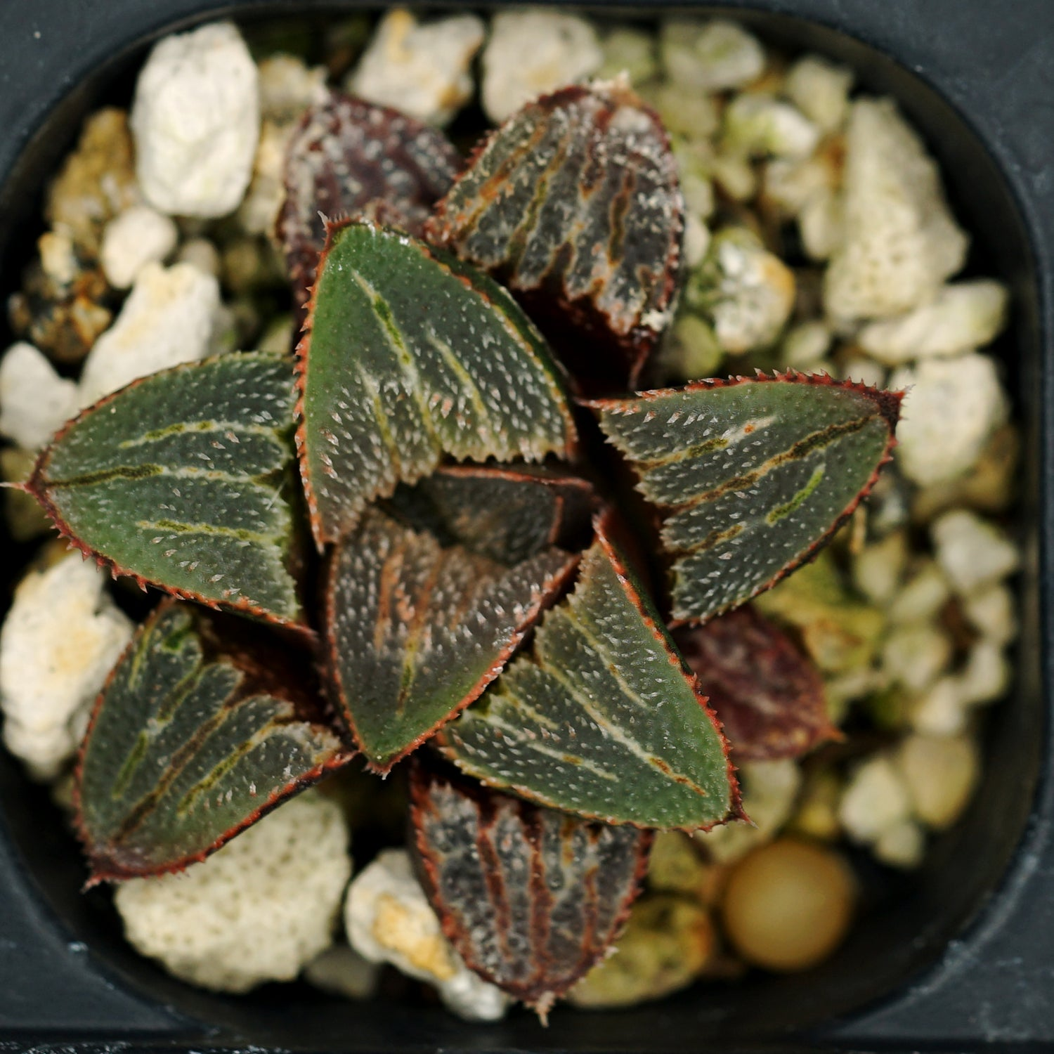 Haworthia hybrid series  PP161, 4 siblings