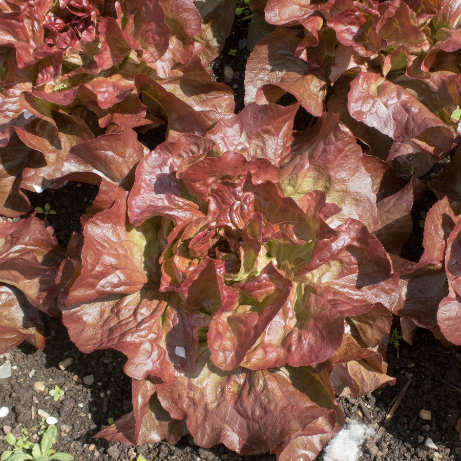 Organic Red Riding Lettuce