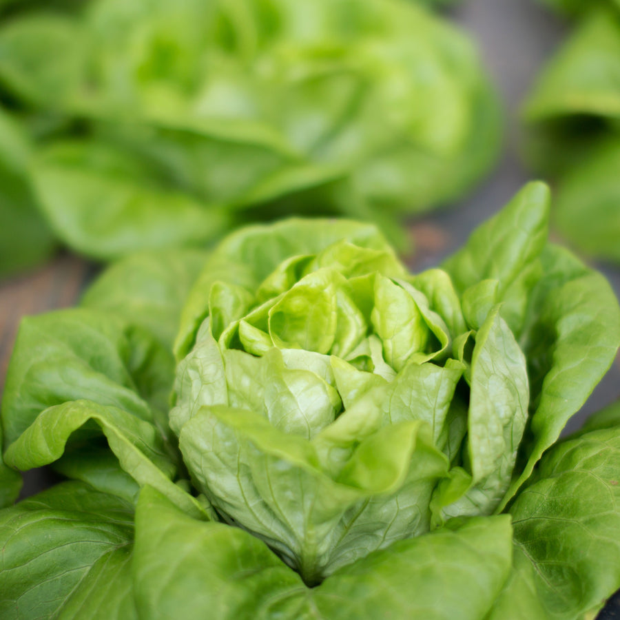 Organic Little Gem Lettuce
