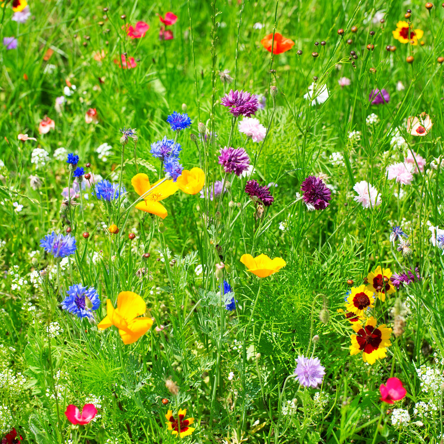 Partial Shade Wildflower Seed Mix
