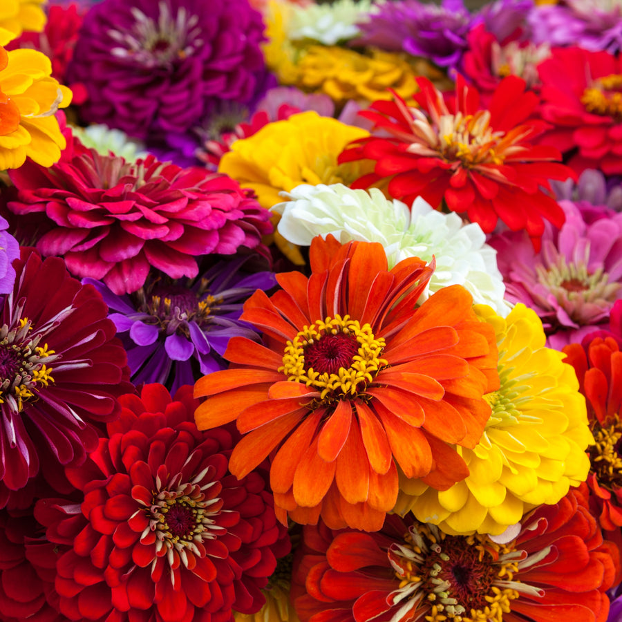 Zinnia California Giants Mix