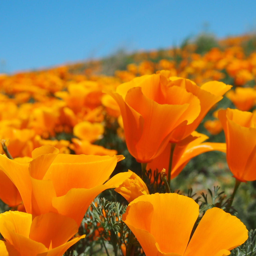 California Poppy Orange
