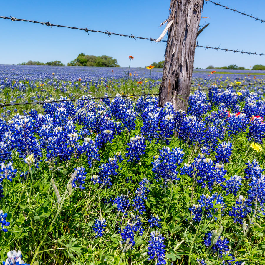 Texas Bluebonnet Wildflower Seed Mix