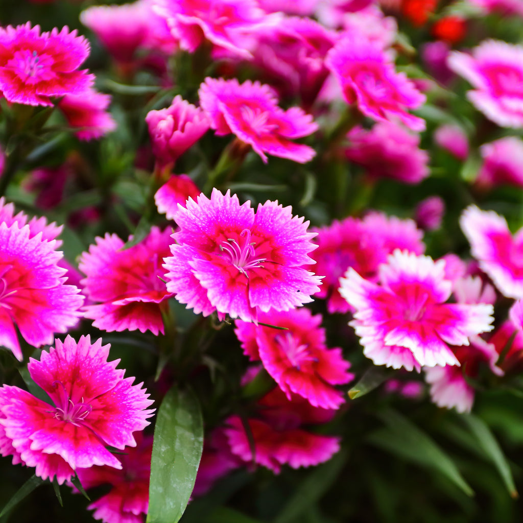 Sweet William Mixed Colors