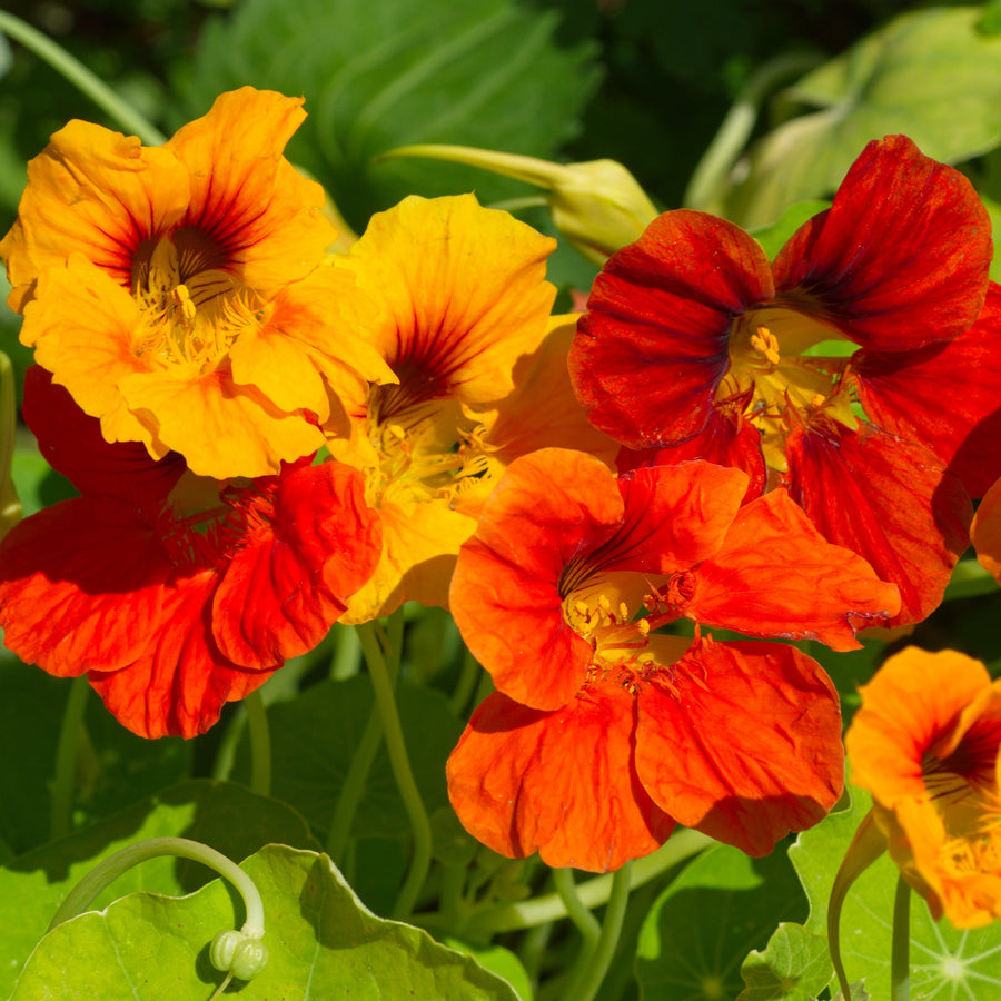Nasturtium majus - Mixed Colors