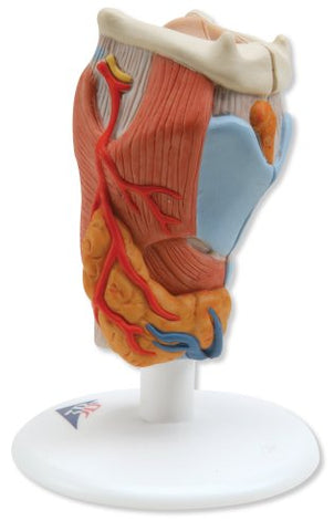 3B Scientific Larynx, 2-part