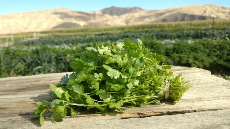 Scott's Cilantro (/bunch)