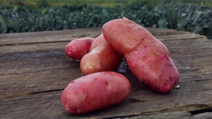 Scott's Potatoes: Fingerling (/lb)