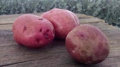 Scott's Potatoes: Red Chieftain (/lb)