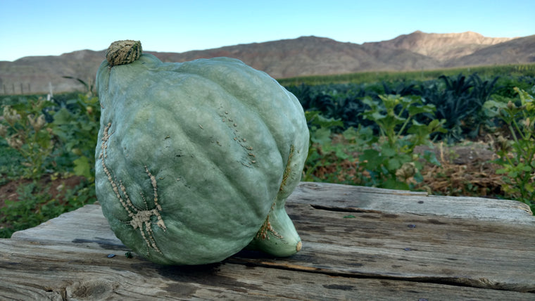 Scott's Squash: Blue Hubbard (/item)