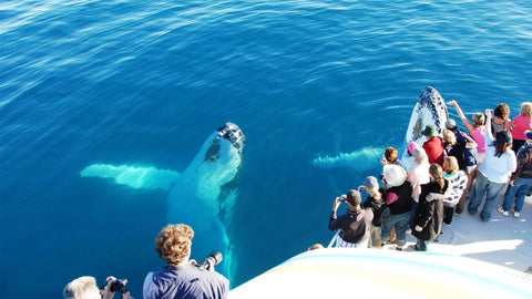 fraser island hervey bay whale watching