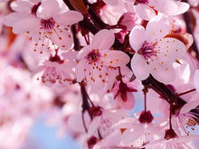 Blushing Cherry Blossom - Quality Scents