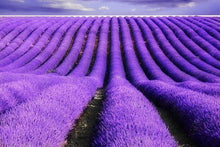 French Lavender - Quality Scents